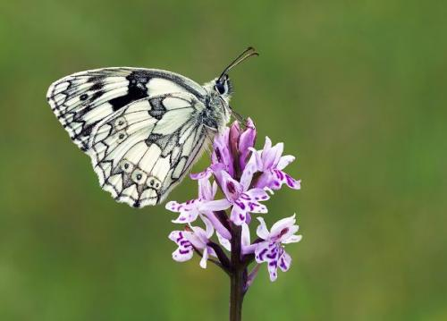 Marble White on Common Spotted Orchid by John Bogle