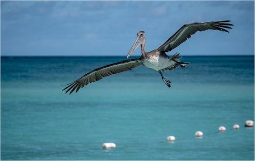 Brown Pelican by Tony Wooton (9.5)