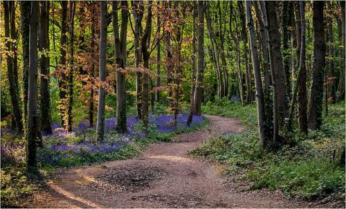 Dave Young Path Thro The Bluebell Wood