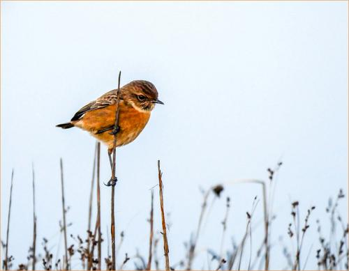 Stonechat on Grass by John Gowen