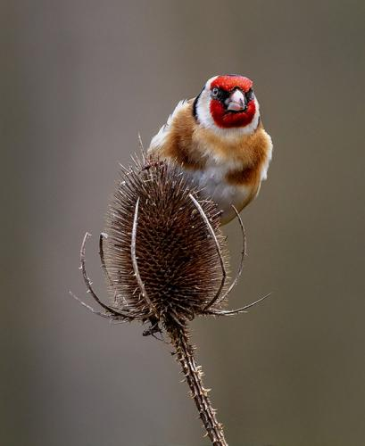 Goldfinch On Teasel by Erich Poole (10)