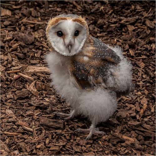 Baby Barn Owl by Sue Young (9.5)