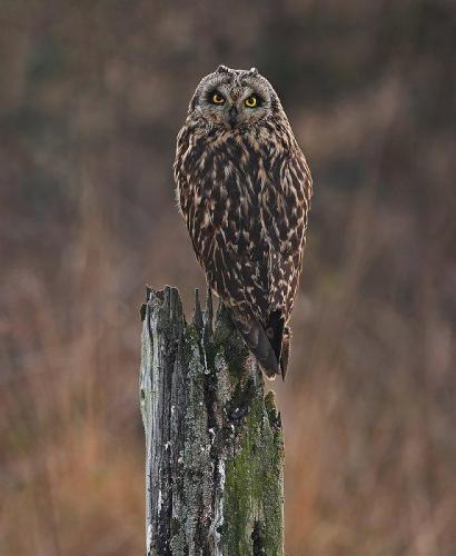 John Bogle Short Eared Owl After Sunset-700