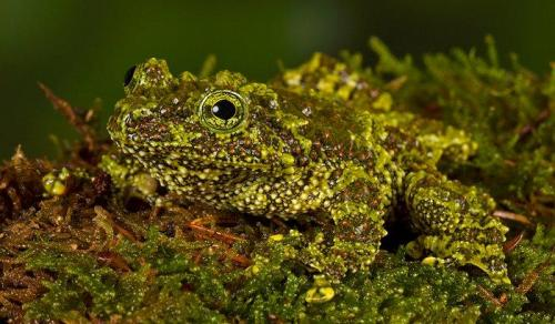 Erich Poole Vietnamese Mossy Frog